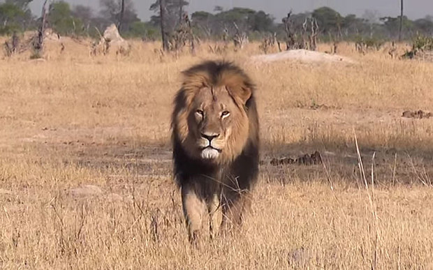 Le lion Cecil : une émotion collective pour la cause animale ?
